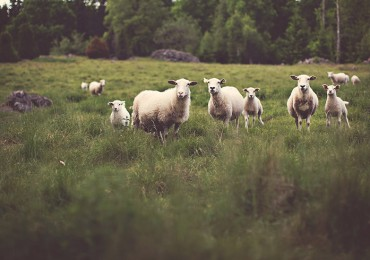 Sheeps in Nature